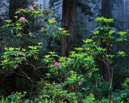 Rhododendron, Fog